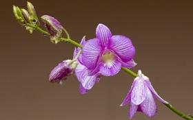 Обои стебель, капли, орхидея, лепестки, роса