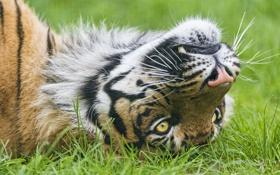 Обои трава, взгляд, морда, тигр, ©Tambako The Jaguar, суматранский
