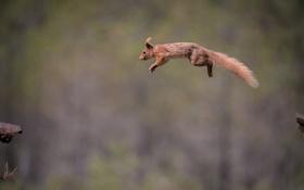 Обои прыжок, белка, рыжая, полёт