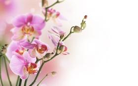 Картинка фленопсис, лепестки, розовые, цветы