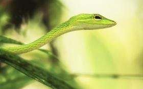 Картинка макро, природа, змея