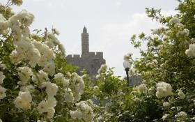 Обои цветы, башня, розы, красота, фонарь, белые, иерусалим