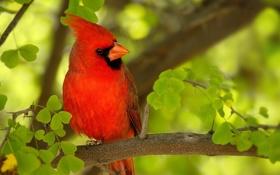 Картинка красная, птичка, ветка