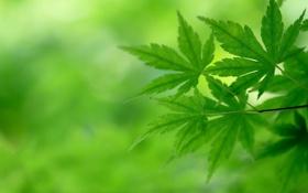 Обои листья, ветка, зеленые, японский клен