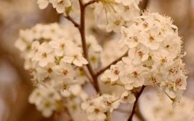 Обои макро, ветки, фото, растения, ветка, абрикос, цветки