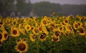 Обои поле, подсолнухи, природа, растение, поля, растения, красивые обои для рабочего стола