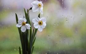 Картинка нарциссы, дождь, белые, капли, стекло, ваза, цветы