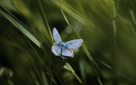 Обои бабочка, голубянка, булавоусые