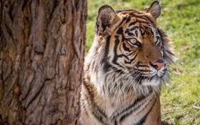 Картинка тигр, дерево, хищник, сумматранский