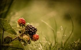 Обои трава, ягода, лесная, ежевика