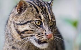 Картинка кот, fishing cat, морда, ©Tambako The Jaguar, кот рыболов, рыболов, кошка