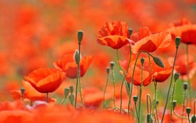 Обои поле, цветы, природа, маки, весна, лепестки, field