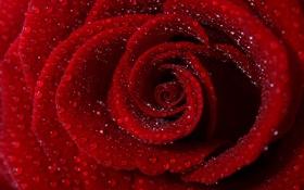 Обои цветок, вода, капли, лепестки, красная роза