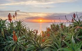 Картинка море, солнце, закат, цветы, цветение, алое