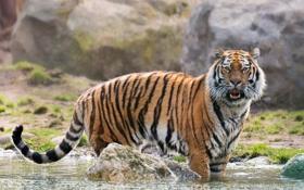 Картинка вода, хищник, дикая кошка, Амурский тигр