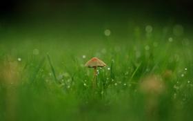 Обои трава, капли, макро, роса, грибочек