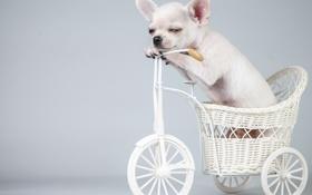 Обои велосипед, собака, щенок