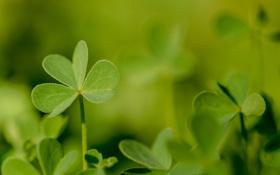 Обои зелень, листья, растение, клевер