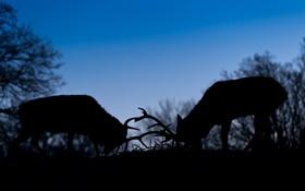 Картинка борьба, вечер, силуэт, пара, рога, сумерки, олени