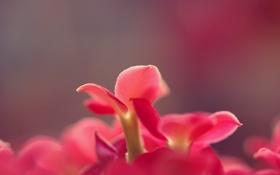 Обои цветок, flower, растение, фон, лепестки, макро, однотонные