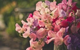 Обои букет, цветы, душистый, горошек