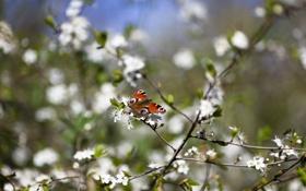 Обои цветы, ветки, природа, бабочька