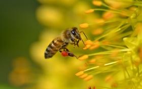 Обои животные, лето, насекомые, природа, пчела, флора
