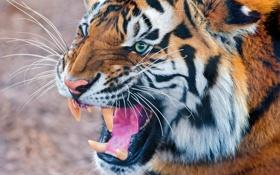 Обои морда, тигр, оскал, угроза, полосатый хищник