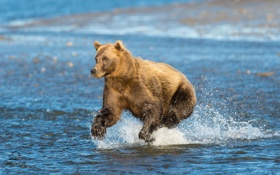 Картинка медведь, Аляска, Alaska, Cook Inlet, Залив Кука