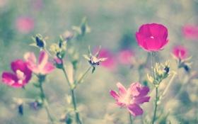 Картинка лето, цветы, природа, розовый, боке, петуния