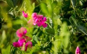 Обои трава, лето, розовый, зеленое, горошек, солнечно, макро