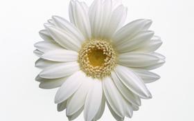 Обои белый, цветок, макро, лепестки, ромашка