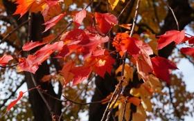 Обои осень, листья, дерево, багрянец