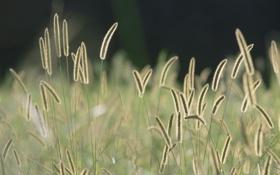 Картинка колоски, поле, солнце