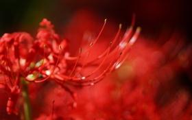 Картинка цветок, макро, красный, размытость, radiata, Lycoris