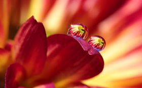 Картинка цветок, капли, красный, отражение, лепестки