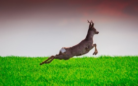 Обои deer, wildlife, Learning to Fly