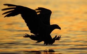 Обои вода, природа, фото, фон, обои, орёл, хищьник