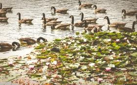 Картинка вода, птицы, утки, кувшинки