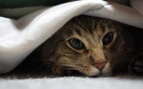 Картинка кошка, кот, морда, ткань, котэ, лежа