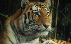 Картинка глаза, взгляд, тигр, хищник, зверь