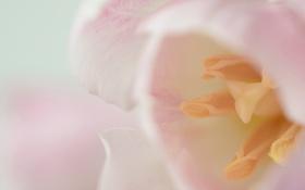 Обои цветок, макро, розовый, тюльпан