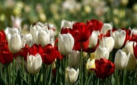 Картинка поле, природа, тюльпаны