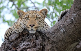 Обои взгляд, дерево, отдых, леопард, leopard, tree, sight