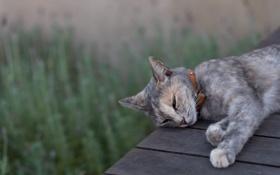 Обои кот, серый, отдых, спит, ошейник, сонный