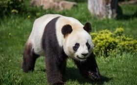 Обои панда, медведь, трава