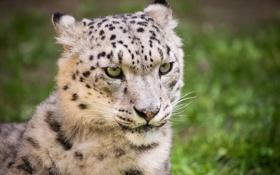 Картинка кошка, взгляд, морда, ирбис, снежный барс