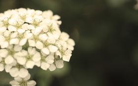 Обои белый, цветок, макро, обработка, размытость, зеленый фон