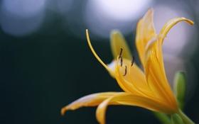 Обои цветок, макро, лилия, лепестки, желтая