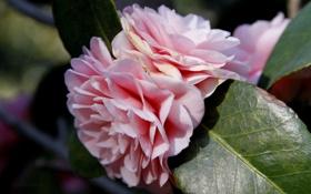 Картинка листья, макро, цветы, природа, лепестки, нежно розовые